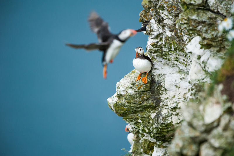 Puffin perching on rock formation