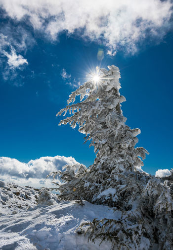 Low angle view of snowcapped tree against blue sky