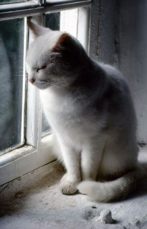 A white cat relaxes on a white windowsill in this run down old house Animal Themes Carefree Cat Close-up Curious Cat Day Domestic Animals Domestic Cat Feline Indoors  Inquisitive Mammal No People One Animal Pets Relaxed Cat Sitting White Background White Color