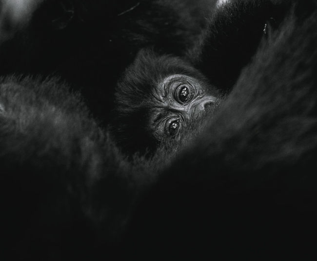 Close-up portrait of a mountain gorilla baby