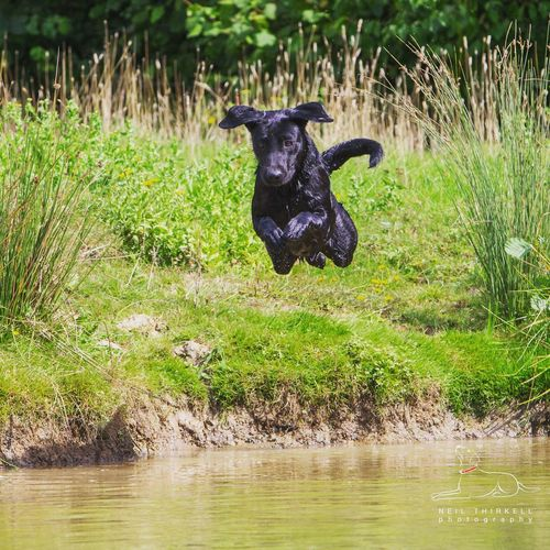Black Labrador jumping into water Domestic Animals Black Color Riverbank Green Color Pets Dog Basingstoke Hampshire  Water First Eyeem Photo