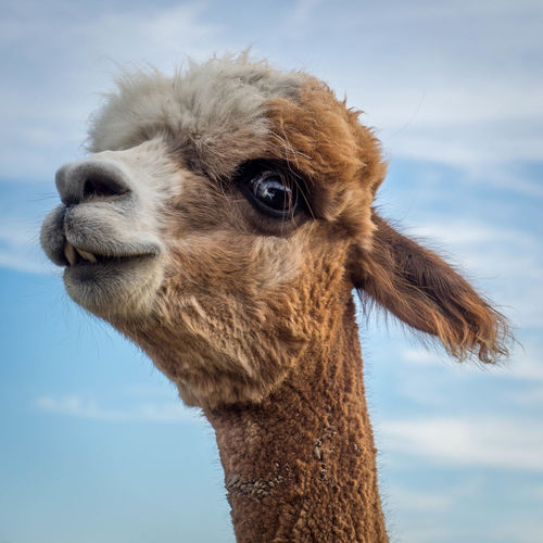 Close-up portrait of alpaca against sky