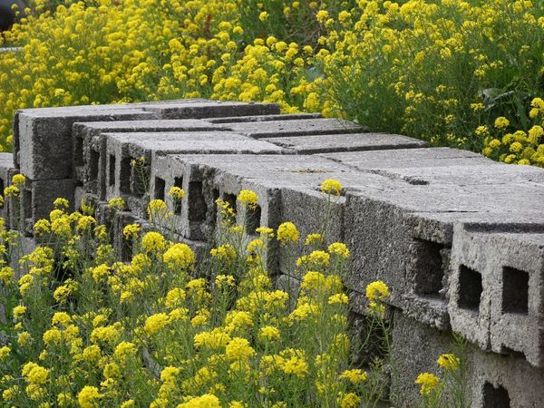 Blocked Flower Plant Yellow Growth Day Outdoors Nature No People Beauty In Nature Fragility Close-up Flower Head Concrete Concrete Block Building Site Paint The Town Yellow Mizen Peninsula Ireland