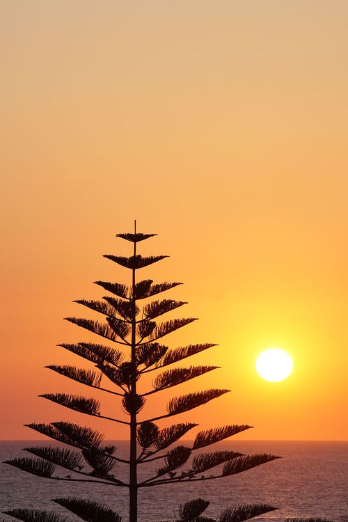 Sunrise with a Norfolk Pine Mediterranean  Morning Morning Light Norfolk Pines Sicily Silhouette Siracusa Backlit Beauty In Nature Clear Sky Day Italy Low Angle View Nature No People Orange Color Scenics Silhouette Sky Sun Sunrise Sunset Tranquil Scene Tranquility Tree