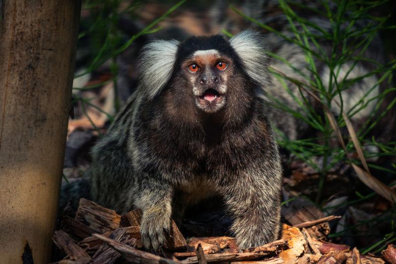 Portrait of marmoset monkey sitting on rock