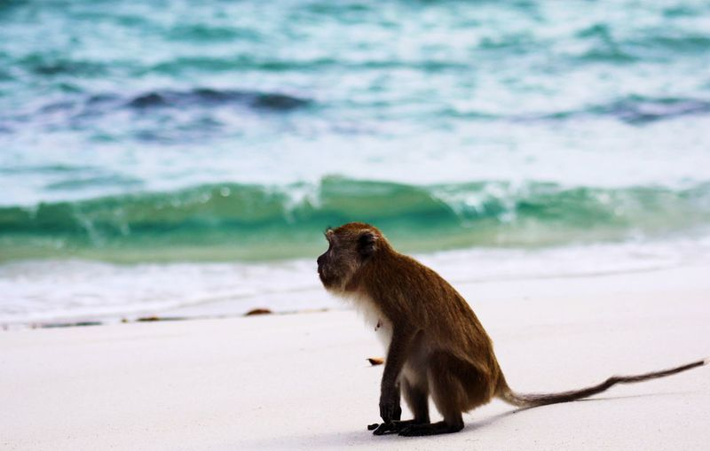 Side view of a monkey on the beach
