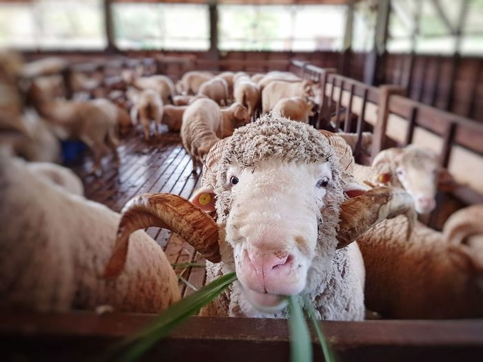 Merino RAM Merinowool Sheep Sheep Farm Livestock Animal Themes Mammal No People Day Indoors  Domestic Animals Large Group Of Animals Nature Close-up First Eyeem Photo