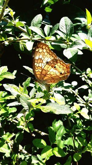 Mariposa tropical seco