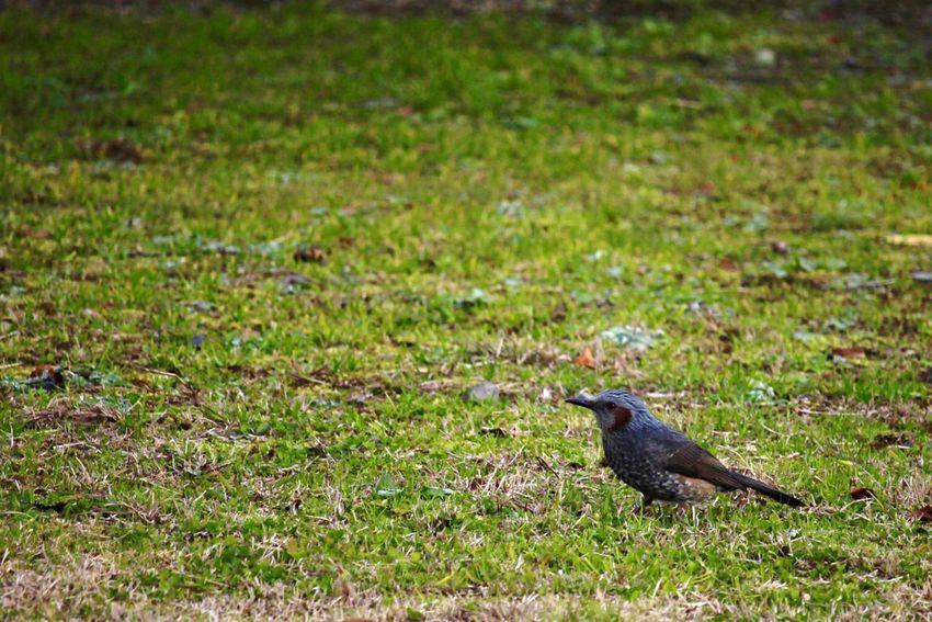 Bird Bird Photography Birds Of EyeEm  Brown-eared Bulbul Bulbul One Animal ヒヨドリ 熊本 鳥