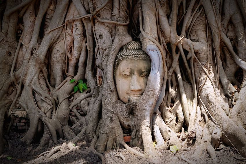 THE ROOTS AROUND THE HEAD OF BUDDHA IMAGE Representation Religion Art And Craft Spirituality Tree Human Representation Creativity Belief No People Plant Day Nature Pattern Full Frame Craft Sculpture Place Of Worship Outdoors Digital Composite