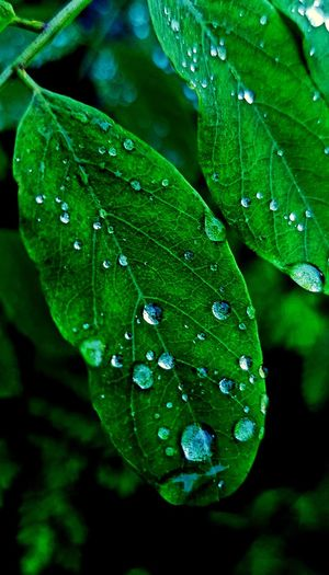 liść po deszczu Drop Leaf Water Nature Wet Green Color Close-up Beauty In Nature No People Freshness
