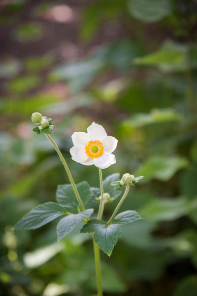White japanese anemone blossom in summer garden against dark background Afternoon Anemone Hupehensis August Gardening Japanese Anemone Beauty Beauty In Nature Blooming Bokeh Photography Close-up Dark Background Flora Floral Flower Focus On Foreground Garden Isolation Leaves Nature Outdoors Plant Shadows Summer White Anemone White Flower