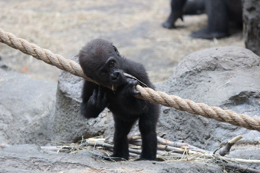 Baby Gorilla Animal Animal Themes Animals In Captivity Focus On Foreground Front View Gorilla Mammal Monkey One Animal Standing Wildlife Zoo Zoology