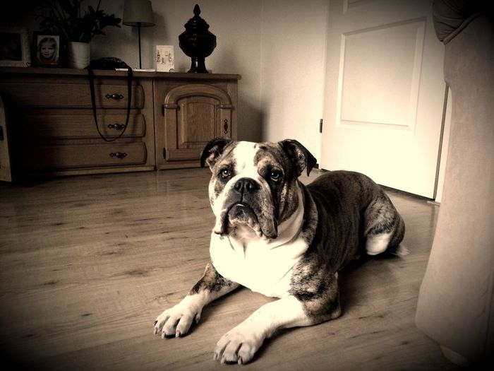 ProCamera - Shots Of The Year 2014 Best Man's Friend Old English Bulldog