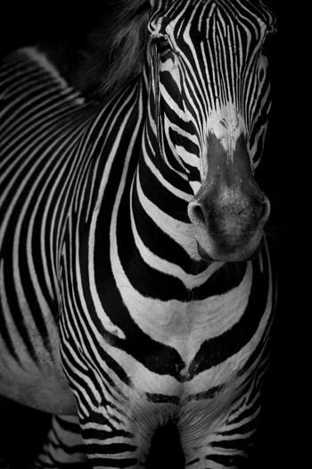 Animal Animal Markings Animal Themes Animal Wildlife Animals In The Wild Black And White Black Background Close-up Grevy's Zebra HEAD Headshot Imperial Zebra Mammal Mono Monochrome Nature No People One Animal Outdoors Shadow Shadows Striped Wildlife Zebra Zebra