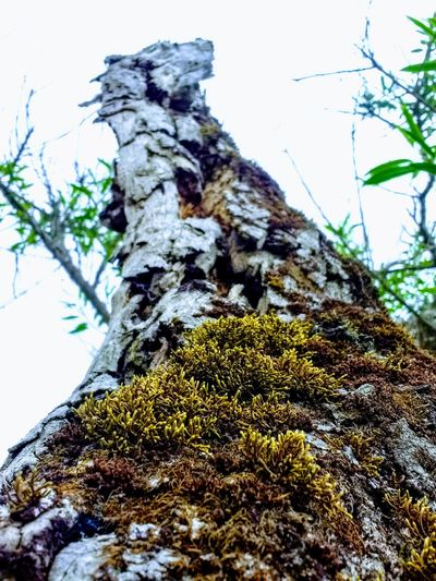 Plant Tree Tree Trunk Moss Trunk Day Low Angle View Nature Textured  Close-up Rough Outdoors Tranquility EyeEmNewHere A New Beginning