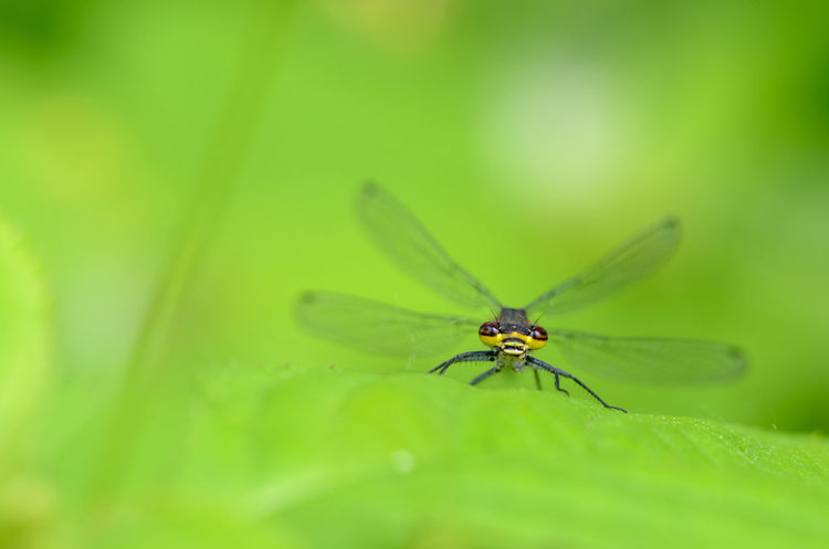 Large red damselfly, Pyrrhosoma nymphula Animal Themes Animal Wildlife Animals In The Wild Beauty In Nature Close-up Damselfly Day Green Color Insect Leaf Nature No People One Animal Outdoors Plant