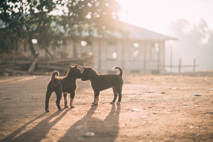 Two lovely baby dogs.Kissing under the sunrise. Animal Themes Animals Baby Backlight Bokeh Cute Dog Doggy Dogs Domestic Animals Focus On Foreground Kiss Light Love Mammal My Nature Outdoors Pets Selective Focus Shillouette Snap Sunrise Traveling Wildlife