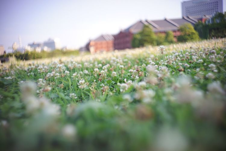 Clover Field Clover Flower Clover クローバー Flowers Flower Cityscapes City Of Flower City View  Bokeh Bokeh Photography The Purist (no Edit, No Filter) Nature Nature Photography EyeEm Nature Lover EyeEm Best Shots EyeEm Best Shots - Flowers EyeEm Best Shots - Nature Snapshot Taking Photos Walking Around お写ん歩