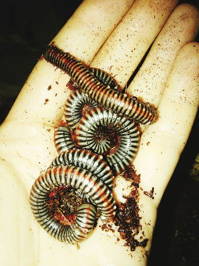 Animal Themes Insect Close-up Hand Millipedes High Angle View Human Hand One Woman Only Lifestyles One Person Indoors  Curiosity Insect Photography Insects