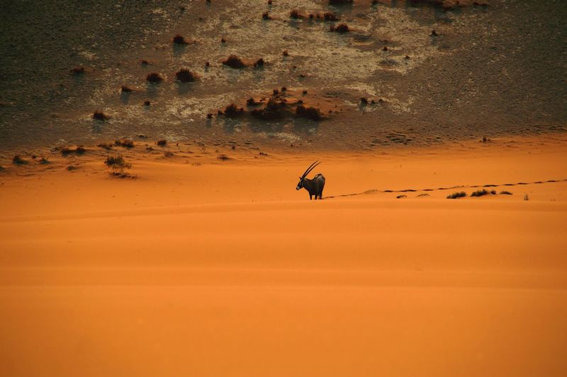 Antelope in sand