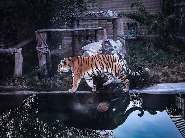 Tiger Water Animals In The Wild Mammal Animal Wildlife Animal Themes One Animal Outdoors No People Day Nature Inner Power