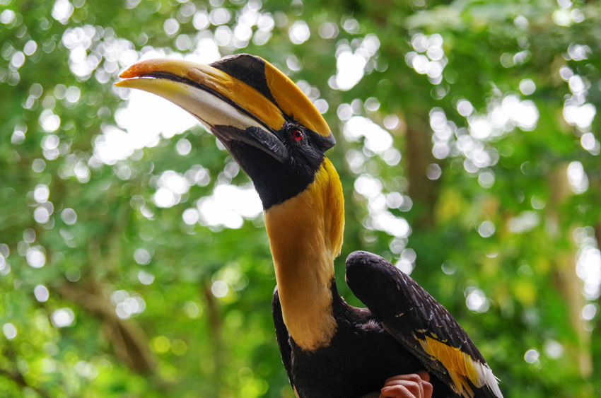 Black Hornbill Mouth Open Animal Neck Animal Head  Beauty In Nature Outdoors Green Color Plant Nature Animal Body Part Day No People Tree Close-up Beak Hornbill Focus On Foreground Vertebrate Animals In The Wild One Animal Bird Animal Wildlife Animal Animal Themes