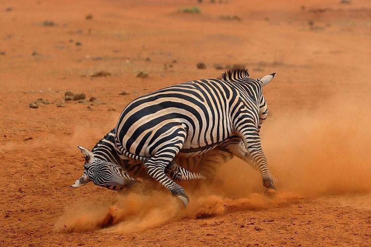Zebras fighting on field