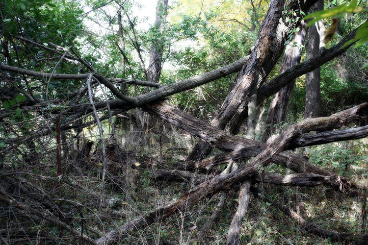 Trees fallen in