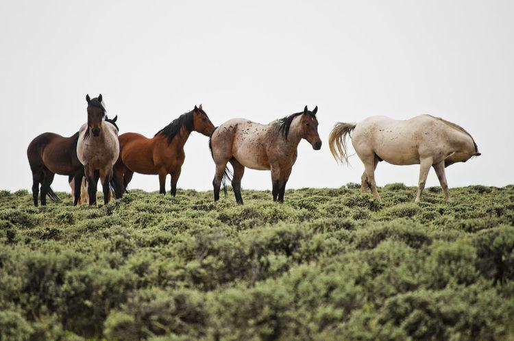 Wild mustangs grazing in the wilderness Blm Land Grazing Horse Horse Landscape Mustangs Nature No People Outdoors Wild Mustangs Wyoming