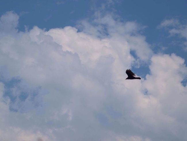 Sky Cloud - Sky Low Angle View Bird Outdoors Flying No People Soaring Day Beauty In Nature Animal Themes