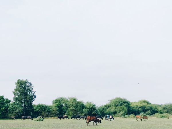 Large Group Of Animals Tree Animal Themes Nature Domestic Animals Grazing Sky Livestock Grass Landscape Beauty In Nature Minimalism Photography EyeEm Selects Smartphonephotograhy EyeEmNewHere Minimalist Photography  Minimalmood Minimalism_masters PhonePhotography Crafted Beauty