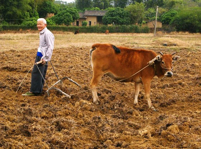 Full Length Of Farmer Standing By Cow On Field