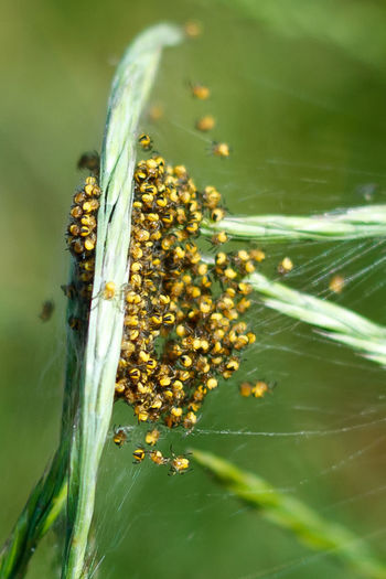 Baby Spiders Baby Spiders Beauty In Nature Close-up Day Focus On Foreground Fragility Green Color Growth Nature No People Outdoors Plant Small Spiders Spiders