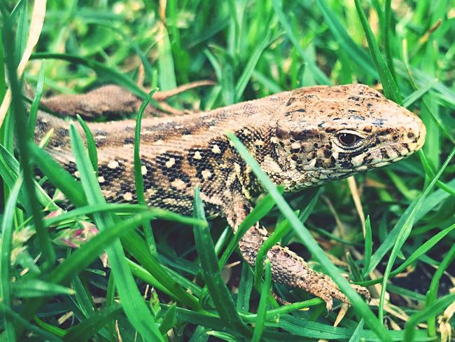 Nature Lizard Maximum Closeness Lizard Watching Lizard Nature IPhoneography Iphonephotography Iphone6 IPhone Outdoors Outside Sunday 2016 Grass Beatiful Nature Macro Macro Photography Macro Nature Taking Photos Springtime Close-up No People Showcase April The Great Outdoors With Adobe The Great Outdoors - 2016 EyeEm Awards