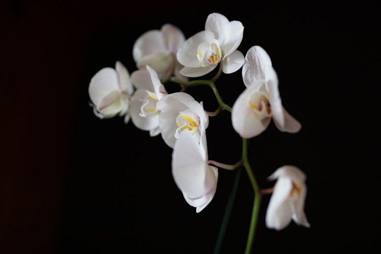 Close-up of white orchids against black background