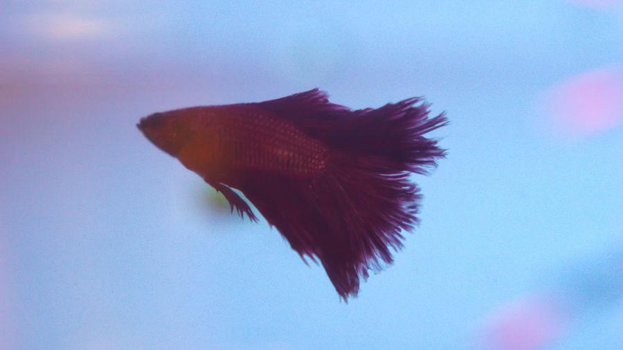 Fish Aquarium Betta