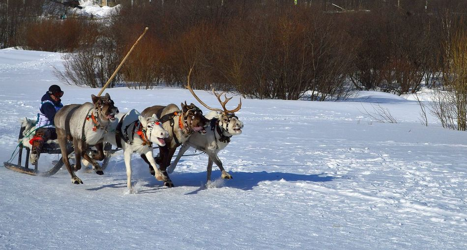 International Festival Of The North. Racing on the reindeer. Adult Animal Themes Cold Temperature Day Frozen Mammal Murmansk Outdoors People Rentier Snow Teamwork Wettbewerb Winter