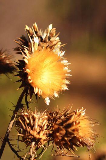 End of Summer Kit Carson Park Summer Beauty In Nature Bokeh Bokeh Photography Dry Flower