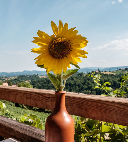 Austria / South Styrian Wine Road (Südsteirische Weinstrasse) Austria Sunflower Vase Vineyards  Wood Beauty In Nature Close-up Day Flower Flower Head Freshness Growth Landscape Nature No People Outdoors Petal Plant Sky Styria Summer Sunflower Sunflowers Table Yellow