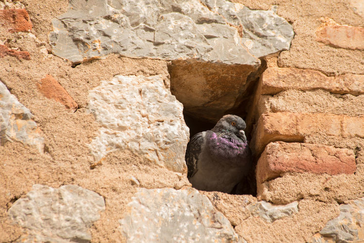 Bird Photography Nature Photography Old Fortress Recess Rock Pigeon Single Bird Animal Themes Built Structure Day Perching Pigeon Hole Purple Colour Stone Wall