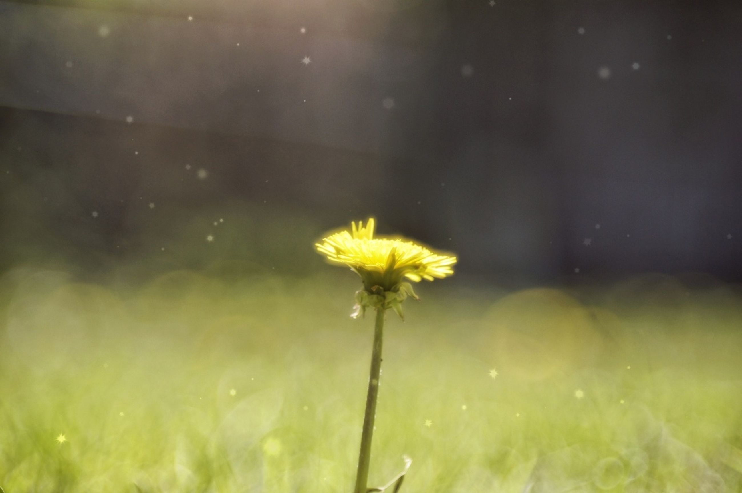 flower, fragility, freshness, flower head, petal, yellow, growth, dandelion, single flower, beauty in nature, focus on foreground, stem, nature, close-up, plant, blooming, water, selective focus, field, wildflower
