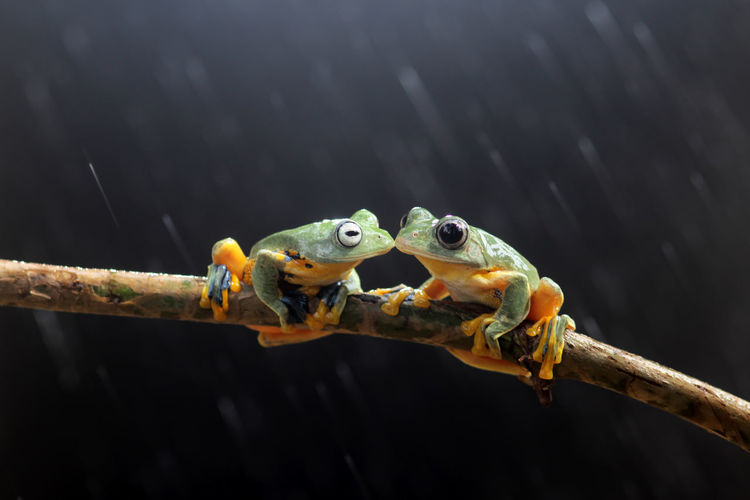 Wallace's flying frog, tree frog on a branch Animal Vertebrate Animal Themes Animal Wildlife Animals In The Wild Nature Focus On Foreground One Animal Close-up No People Outdoors Amphibian Day Branch Frog Water Reptile Tree