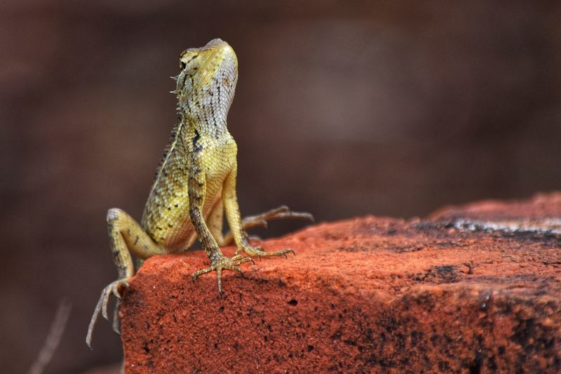 Animal Themes Animal Wildlife Animals In The Wild One Animal Animal Lizard Reptile