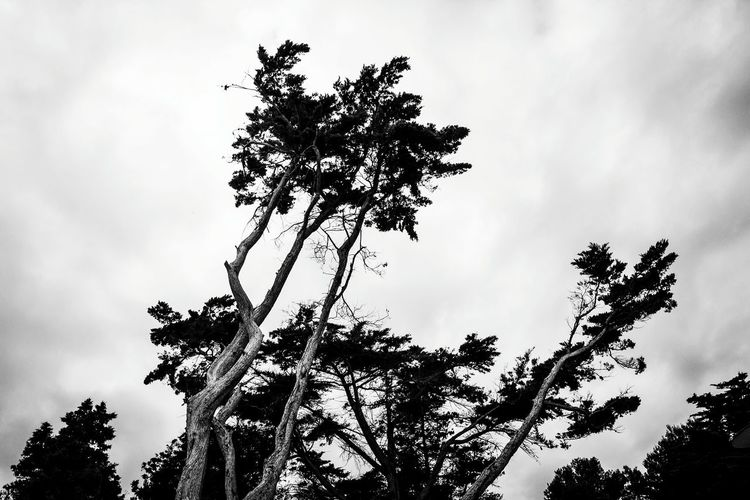 Tree Nature Branch Low Angle View Growth Outdoors Day Beauty In Nature Creepy Mood Captures Moody Weather Black And White Blackandwhite Photography CrookedTree