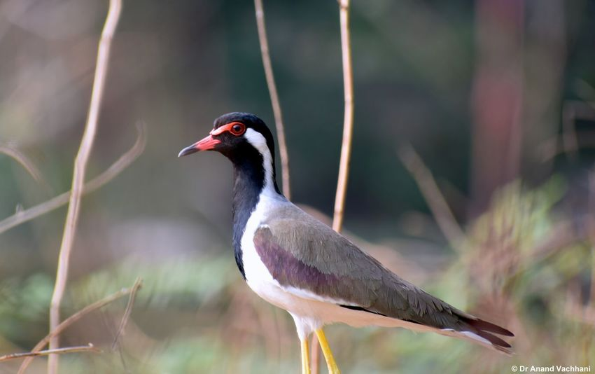Red Wattled Lapwing Bird Animal Wildlife Animals In The Wild One Animal Red Beak No People