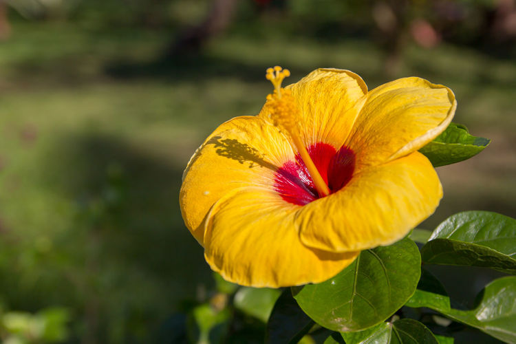 Close-Up Of Yellow Hibiscus Flower