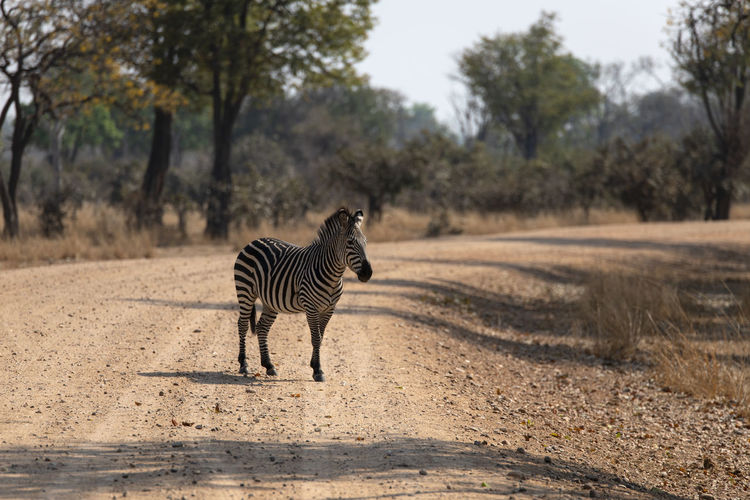 View of a zebra on the road