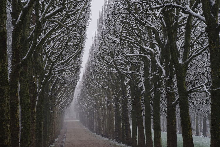 Alignment Of Trees Contrast Driveway No People Park Plane Trees Avenue Snow Covered