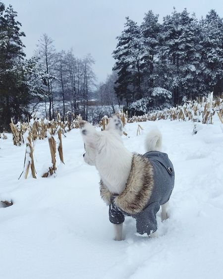 Winter with Sati Whitedog Mixdog Mongrel Mutt Sheperd Forest Puppy Winterdogs Snow Winter Cold Temperature Animal Dog Weather Animal Themes Animal Wildlife Snowing Tree Animals In The Wild Outdoors Frozen Mammal No People One Animal Reindeer Nature Domestic Animals Day